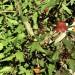 Canary Island Bellflower (plant) thumbnail
