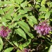 Lilac Fuchsia (plant) thumbnail
