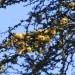 Sweet Acacia = Needle Bush (flower) thumbnail