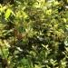 Southern live oak thumbnail